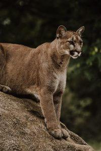 puma mountain lion